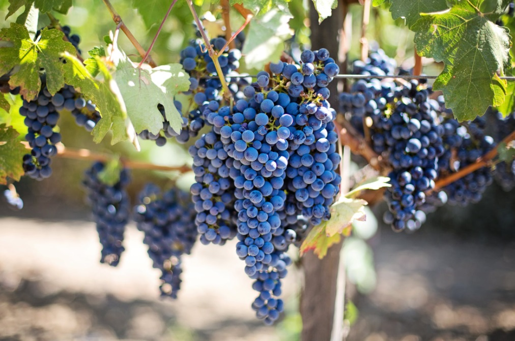 raisin vignoble